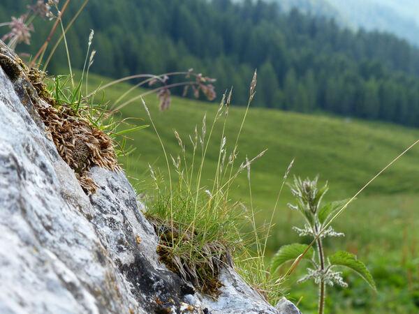 Festuca alpina Suter