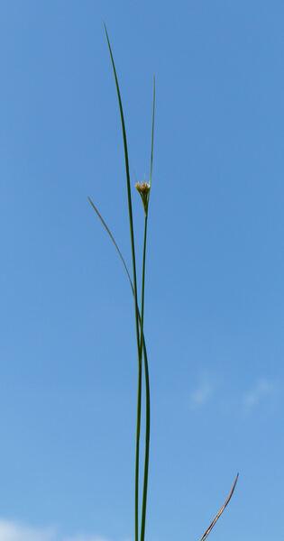 Rhynchospora alba (L.) Vahl