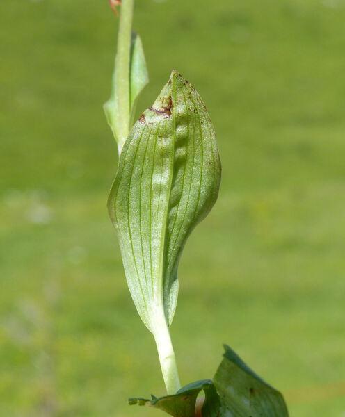 Dactylorhiza viridis (L.) R.M. Bateman, Pridgeon & Chase