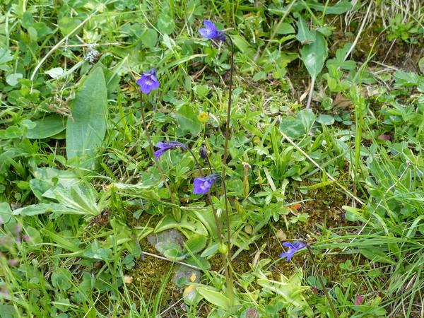 Pinguicula vulgaris L. subsp. vulgaris