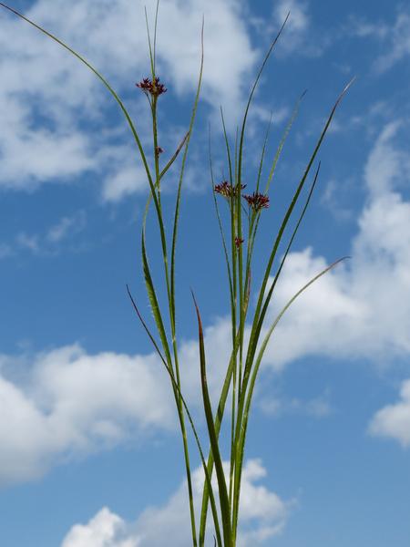 Luzula luzuloides (Lam.) Dandy & Wilmott subsp. rubella (Hoppe ex Mert. & W.D.J.Koch) Holub