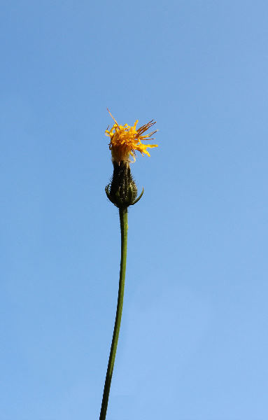 Crepis biennis L.