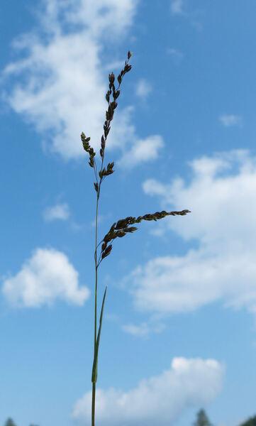 Bellardiochloa variegata (Lam.) Kerguélen subsp. variegata