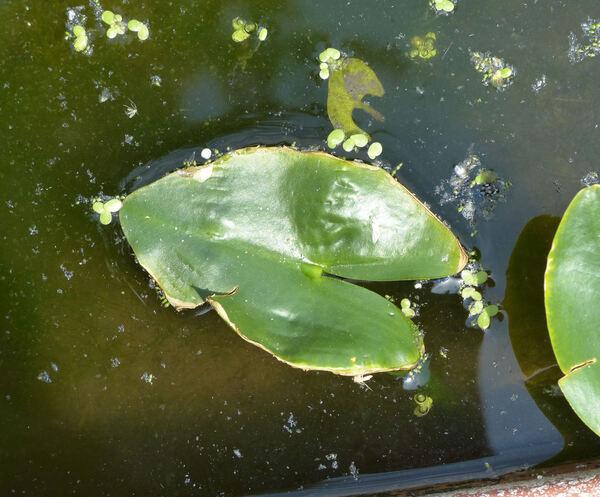 Nuphar sagittifolia (Walter) Pursh