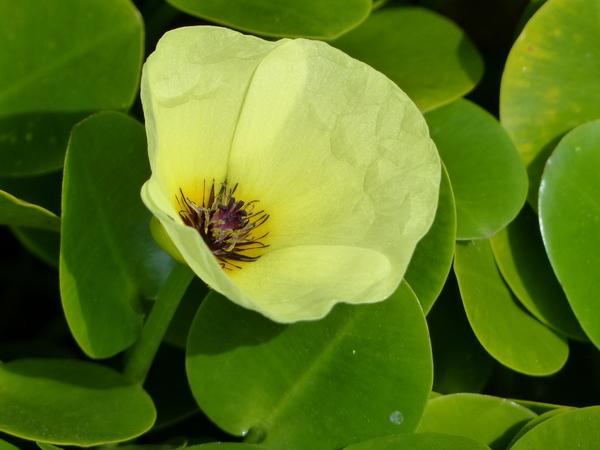 Hydrocleys nymphoides (Willd.) Buchenau