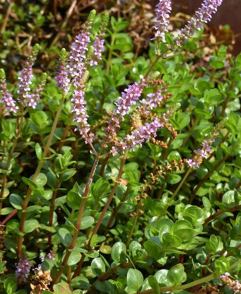 Rotala rotundifolia (Buch.-Ham. ex Roxb.) Koehne