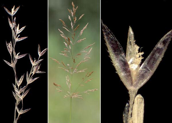 Agrostis gigantea Roth subsp. gigantea