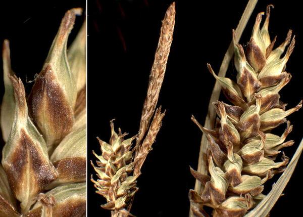 Carex hostiana DC.
