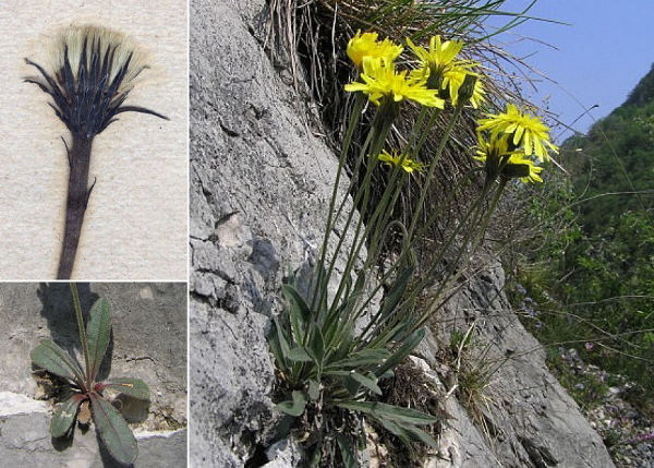 Leontodon tenuiflorus (Gaudin) Rchb.