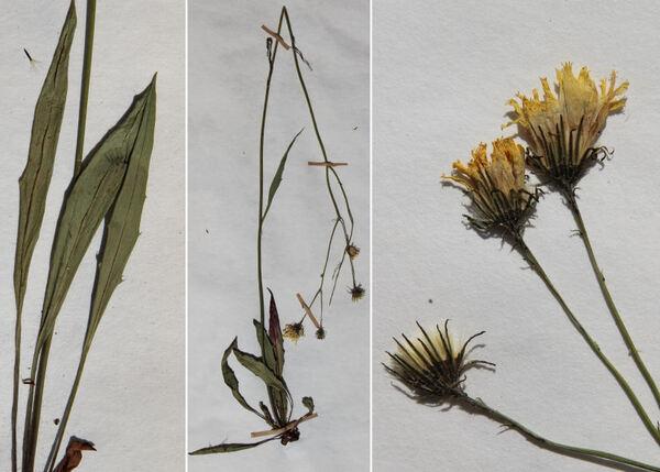 Hieracium apricorum Wiesb. ex Dichtl