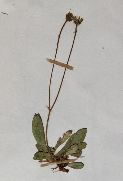 Pilosella viridifolia (Peter) Holub