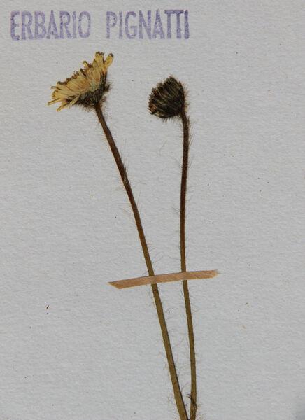Pilosella sphaerocephala (Froel. ex Rchb.) F.W.Schultz & Sch.Bip.