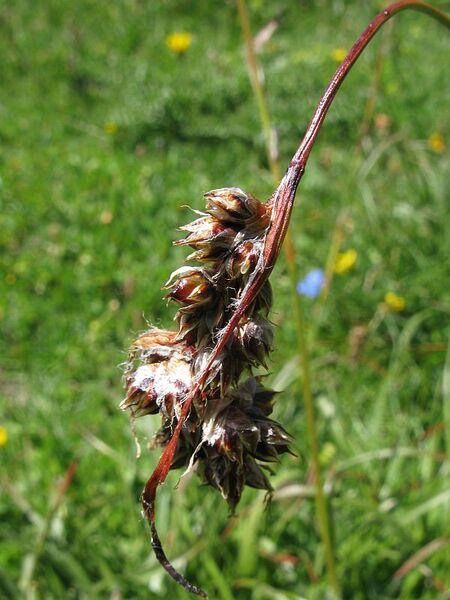 Luzula spicata (L.) DC. subsp. spicata