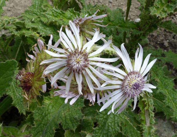 Berkheya purpurea (DC.) Mast.