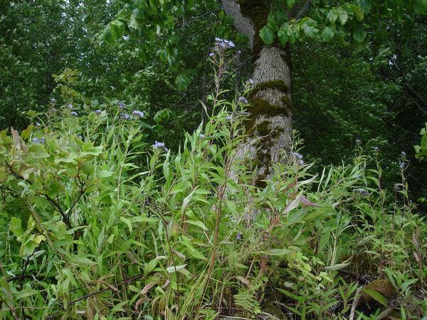 Lactuca sibirica (L.) Maxim.