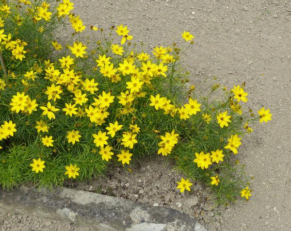 Coreopsis verticillata L.