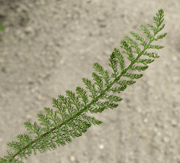Achillea asplenifolia Vent