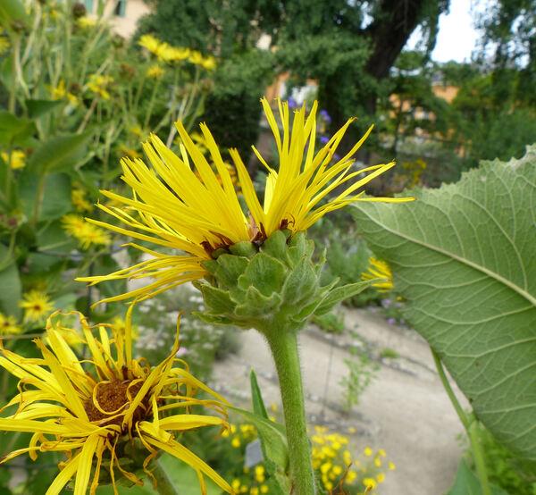 Inula racemosa Hook.f.