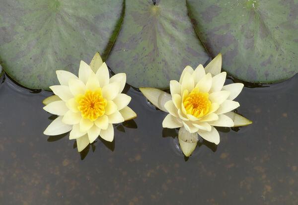 Nymphaea mexicana Zucc.