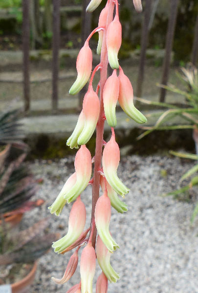 Gasteria cheilophylla hort.