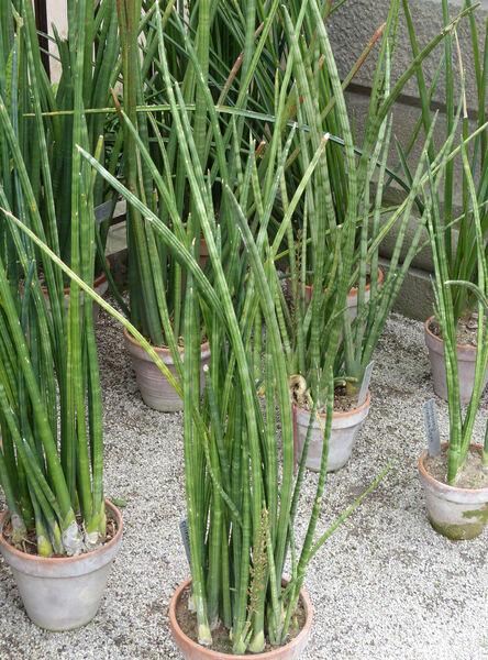 Sansevieria cylindrica Bojer