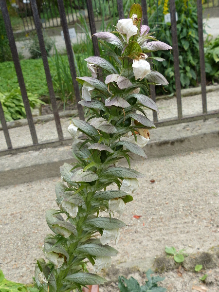Acanthus niger Mill.