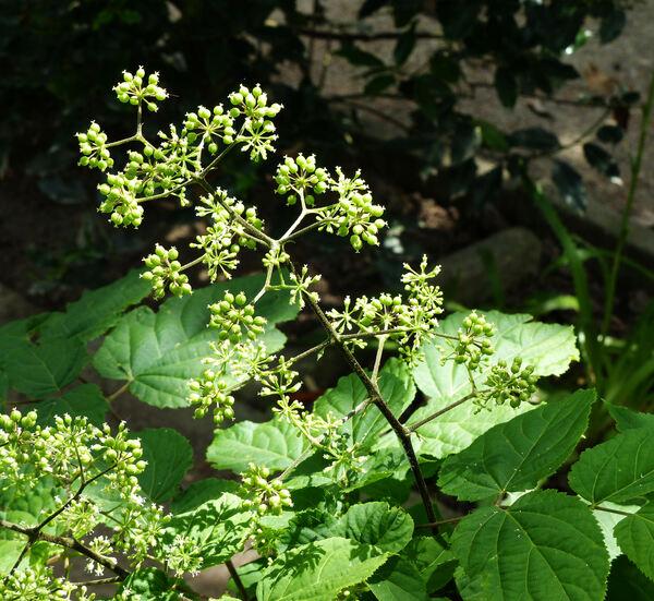 Panax quinquefolium L.