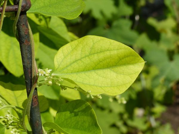 Cocculus orbiculatus (L.) DC.
