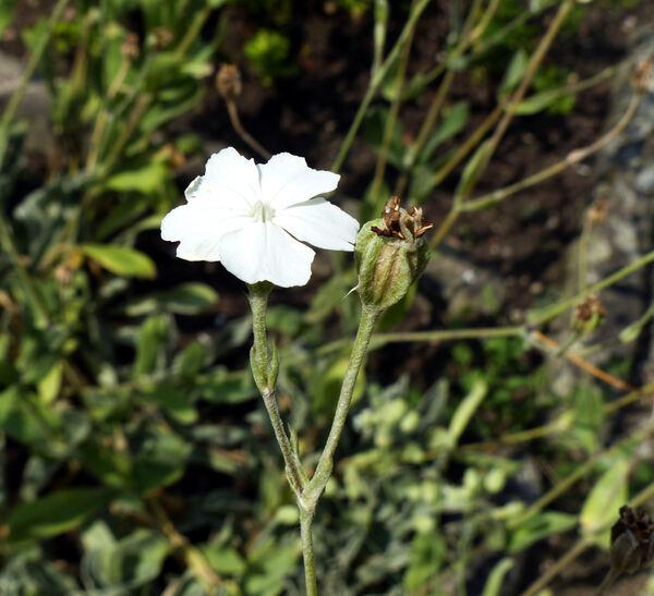Silene coronaria 'Oculata Group'