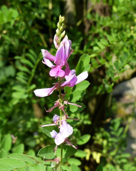 Indigofera tinctoria L.