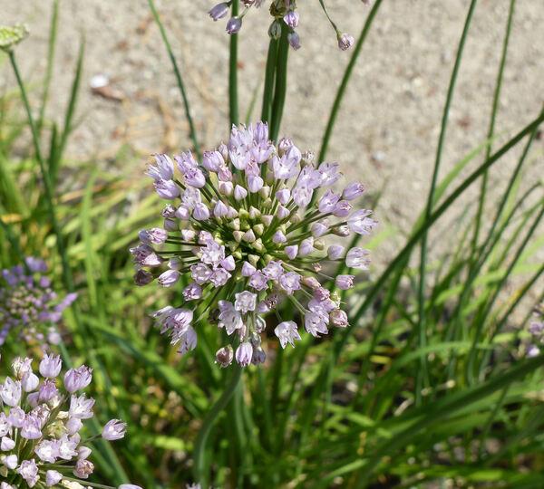 Allium angulosum L.