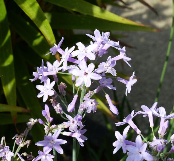 Tulbaghia violacea Harv.