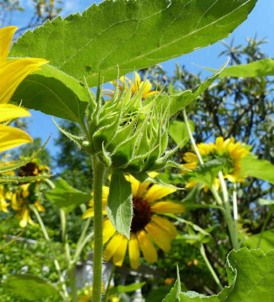 Helianthus annuus L. subsp. annuus