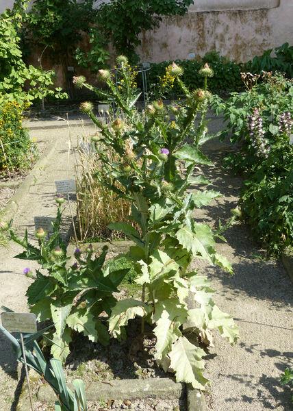 Onopordum acanthium L. subsp. acanthium