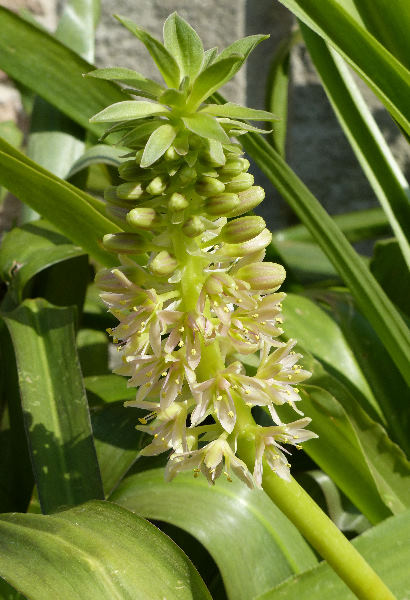 Eucomis pallidiflora Baker subsp. pole-evansii (N.E. Br.) Reyneke ex J.C. Manning
