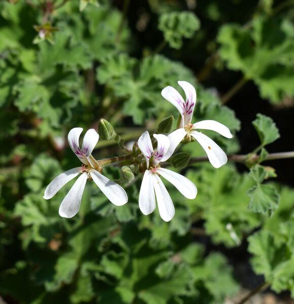 Pelargonium odoratissimum (L.) L'Hér. ex Aiton