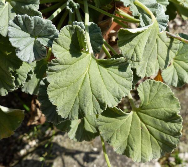 Pelargonium sidoides DC.
