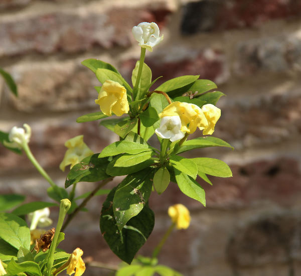 Brunfelsia jamaicensis (Benth.) Griseb.