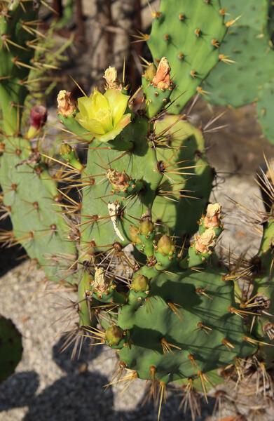 Opuntia exuviata auct.