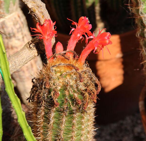 Oreocereus leucotrichus (R.Phil.) Wagenkn.