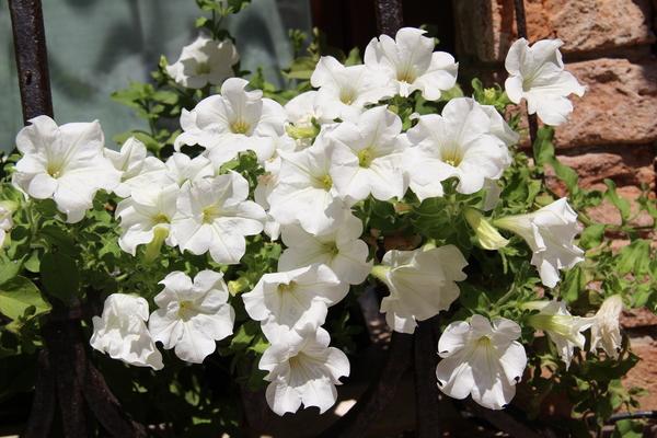 Petunia atkinsiana (Sweet) D.Don ex W.H.Baxter