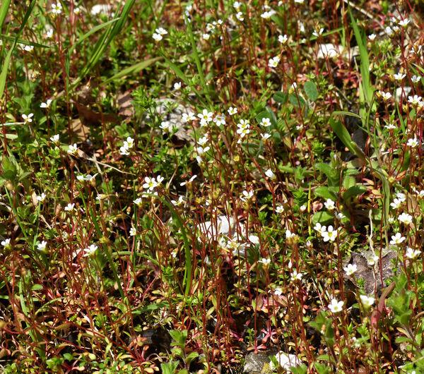 Draba verna L. subsp. praecox (Steven) Rouy & Foucaud