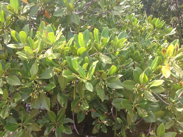 Rhizophora mucronata Lam.