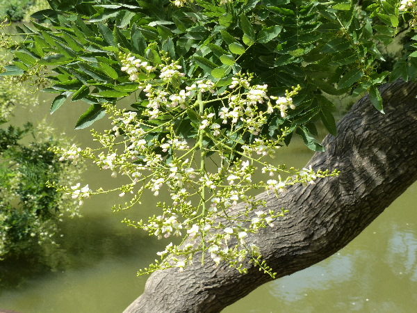 Styphnolobium japonicum (L.) Schott