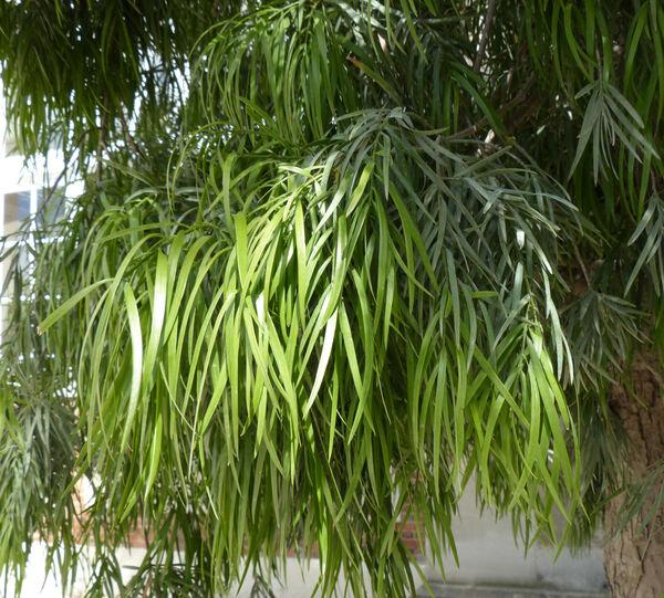 Podocarpus elongatus (Ait.) L'Herit. ex Pers.