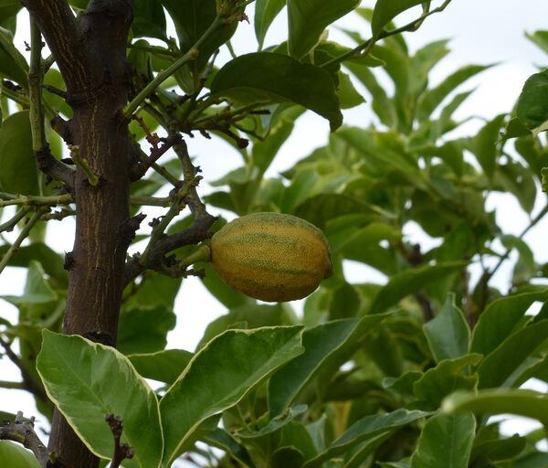 Citrus x limon (L.) Osbeck 'Sanguin Panachè'