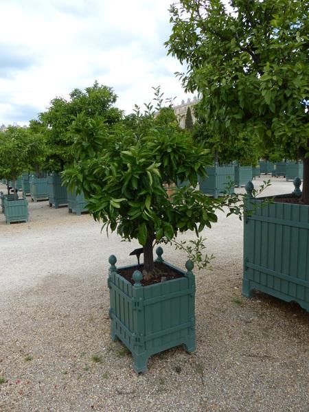 Citrus x sinensis (L.) Osbeck 'Barile'