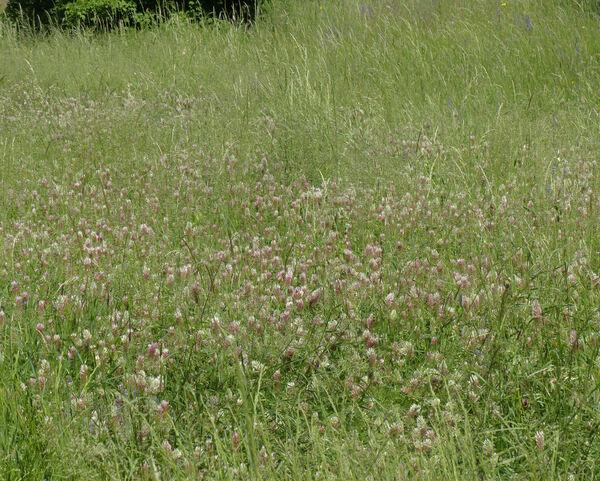 Trifolium incarnatum L. subsp. molinerii (Balb. ex Hornem.) Ces.