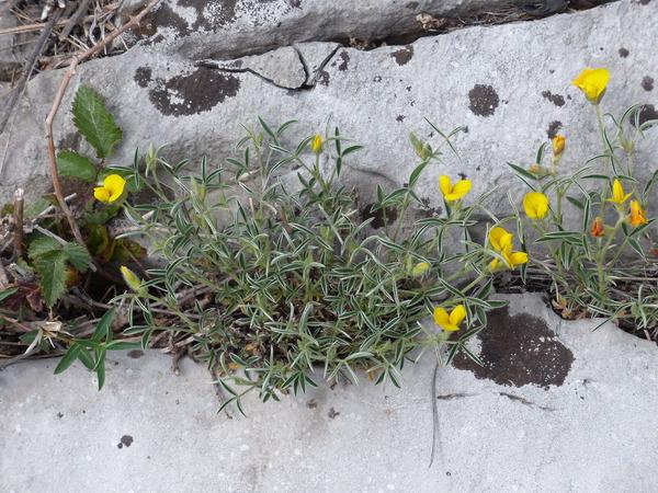 Argyrolobium zanonii (Turra) P.W.Ball subsp. zanonii