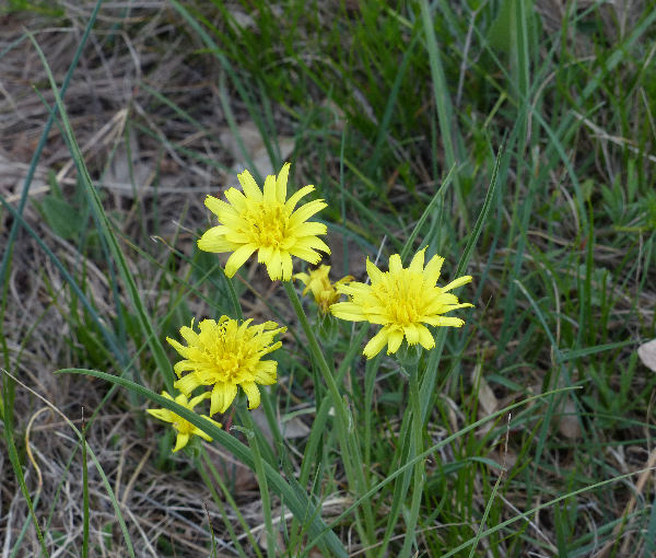 Scorzonera austriaca Willd.